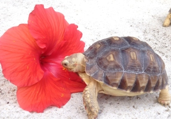 Tambara digging into a fresh hibiscus flower