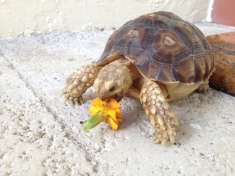 Kada snacking on the first marigold to bloom in the Tortoise Garden