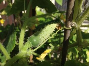 My little cucumber!